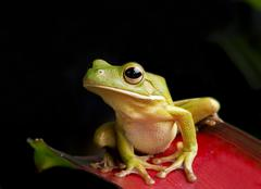 Giant Tree Frog with Black Background Stock Photos