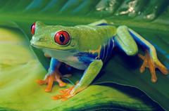 Red Eyed Tree Frog on Leaves Stock Photos