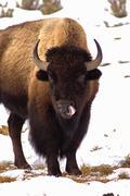 Buffalo Nose Lick - stock photo