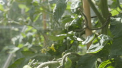 A slow motion pan slide shot of a tomato plant in a greenhouse Stock Footage