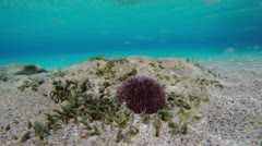 Time Lapse Of Sea Urchin Unterwater Stock Footage