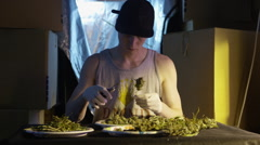 Man cutting leaves from stalk of cannabis plant - stock footage