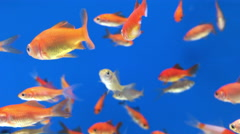Looping Goldfish in a Blue Fish Tank Stock Footage