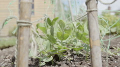 A slow motion shot of a veggie garden growing peas - stock footage
