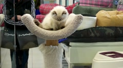 Close up cat jumping down at cat tree inside pet store w - stock footage