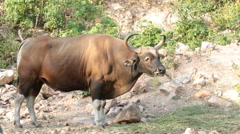 Banteng or Red bull standing in the forest Stock Footage