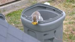 Squirrel finds tasty morsel, trash barrel Stock Footage