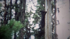 1971: Black bear climbing down pine tree in wooded forest. Stock Footage
