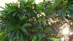 Plumeria is a genus of flowering plants in the dogbane family Stock Footage