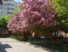 Stock Photo of Blooming apple trees in the spring in the zoo park in Yekaterinburg.