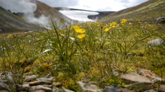 Green grass and yellow flowers in the thermal valley. Iceland Stock Footage