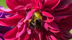 Crimson dahlia with bee - stock footage