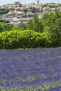fields of lavender in Plateau de Valensole Provence - stock photo