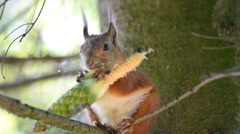 Squirrel eating cone Stock Footage
