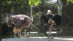 Ostriches at Zoo Stock Footage