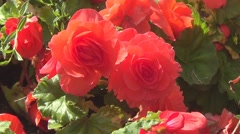 Red begonia Stock Footage