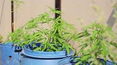 Hemp illegal growing in blue casks shake on wind. Summer sunny day. Drugs Stock Footage