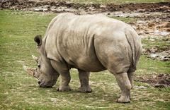 White rhinoceros rear view, animal scene - stock photo