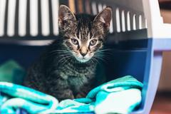 Pensive Tabby Kitten Inside Cat Carrier Box - stock photo