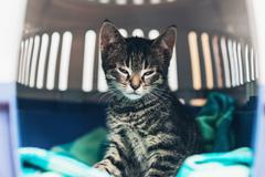 Small striped tabby kitten in a travel crate Stock Photos
