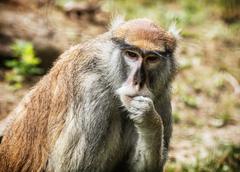 Patas monkey portrait, animal scene - stock photo