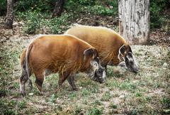 Pair of Red river hog (Potamochoerus porcus), animal scene - stock photo