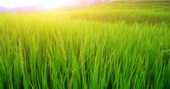 Warm sunshine over green rice field farm in rural Thailand. Camera slider motion Stock Footage