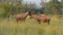 The roan antelope (Hippotragus equinus), Queen Elizabeth National Park, Uganda, Stock Footage