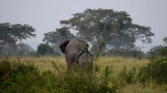 A wild African Elephant,Queen Elizabeth National Park,  Uganda, Africa. Stock Footage
