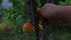 Hand Tears Apricot Stock Footage