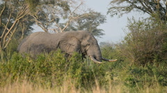 A wild African Elephant,Queen Elizabeth National Park,  Uganda, Africa. Stock Footage