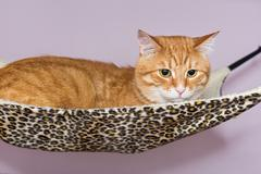 Big red cat lying  in the hammock Stock Photos