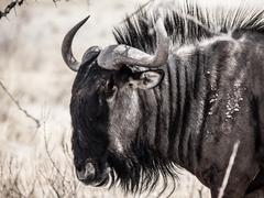 Wildebeest gnu profile Kuvituskuvat
