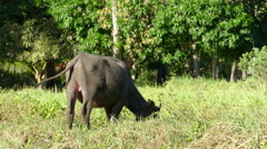Close up from a itchy water buffalo Stock Footage