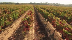 Drone Footage Vineyard Agriculture Farm Landscape Nature Green Field Summer Stock Footage