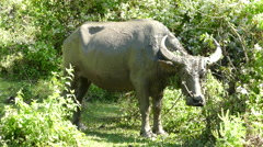 Water buffalo scratching his head to a tree Stock Footage