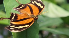 Tiger Leaf Butterfly resting with it's wings spread apart (2) Stock Footage