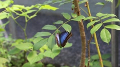 Beautiful Blue Morpho butterfly sitting on a leaf and batting it's wings Stock Footage