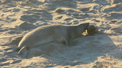 Sea lions on the beach in California Stock Footage
