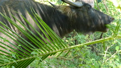 Water buffalo eating from a palm leaf Stock Footage