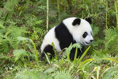 Two years aged young giant panda (Ailuropoda melanoleuca), China Conservation - stock photo