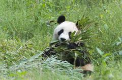 Adult giant panda (Ailuropoda melanoleuca) eating bamboo,  China Conservation Stock Photos