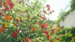 Lantana Camaras Blooming On Sunny Day Footage Growth Fresh Flowers Nature Porto - stock footage