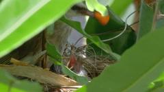 Bird Mother Feeding Chicks 2 Stock Footage