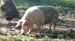 Pig attached with a rope to a tree - stock footage
