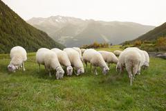 Flock of sheep in an italian mountain pasture Stock Photos