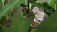 Bird Mother Feeding Chicks Stock Footage