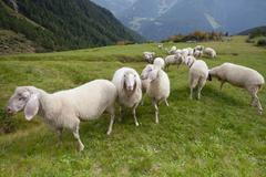 flock of sheep in an italian mountain pasture - stock photo