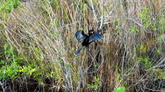 Anhinga drying wings after fish hunting in sawgrass marsh Stock Footage