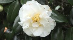 White Camellia Stock Footage